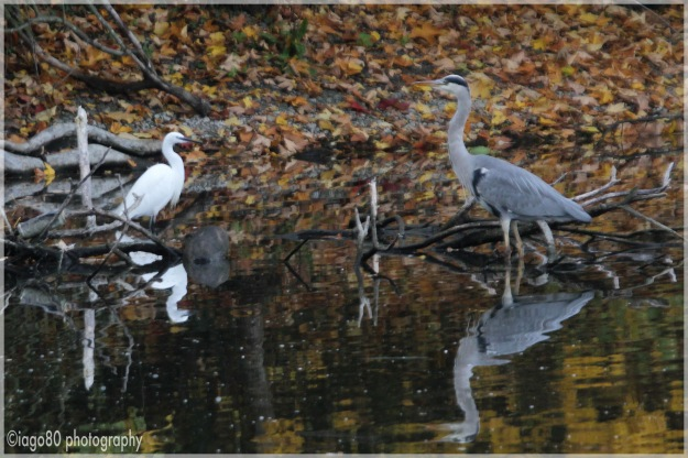 Little Egret and Grey Heron