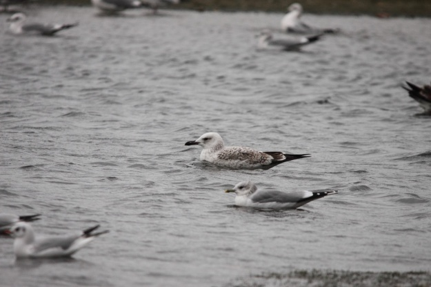 Caspian Gull (Larus cachinnans) - PHOTO BY NICK CROFT