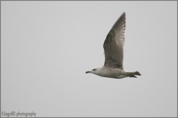 Not a Caspian Gull