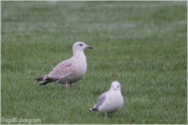 Not a Caspian Gull