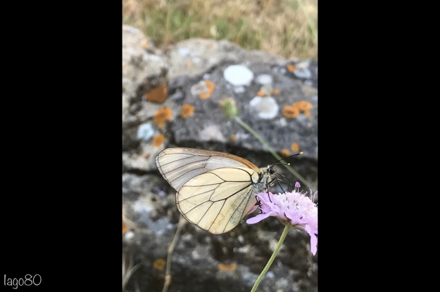 Black veined white v2